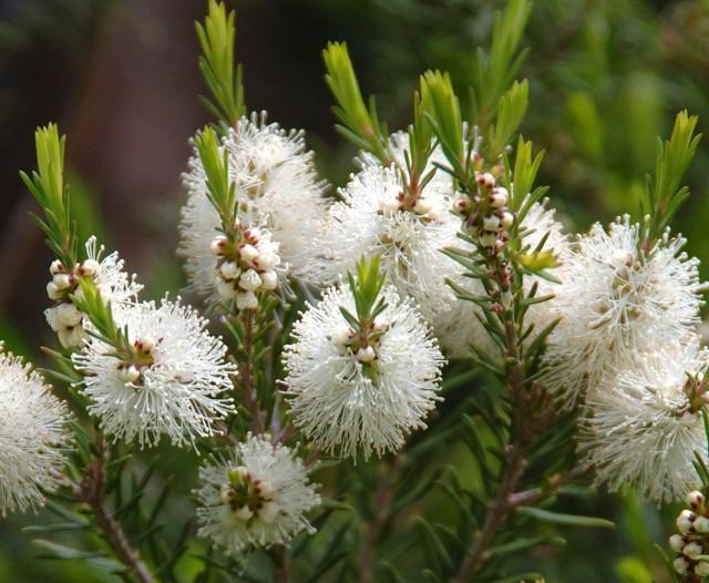 Tea tree in Bloom